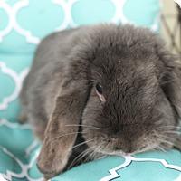 Adopt A Pet :: Sophia - Hillside, NJ