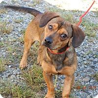 Adopt A Pet :: Max(17 lb) Fun & Sweet! - SUSSEX, NJ