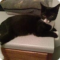 Domestic Shorthair Kitten for adoption in Warren, Michigan - Bandita