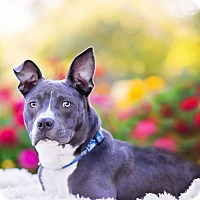 Adopt A Pet :: Joey - Boise, ID