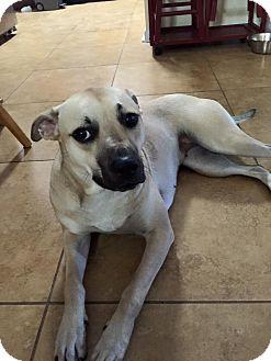 Black Mouth Cur Mix Dog for adoption in Jacksonville, Florida - Lola