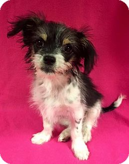 Shih Tzu/Terrier (Unknown Type, Medium) Mix Dog for adoption in Alta Loma, California - Libby