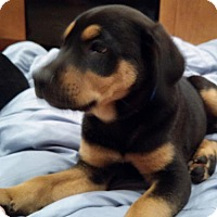 Adopt A Pet :: Robbie - Grafton, WI