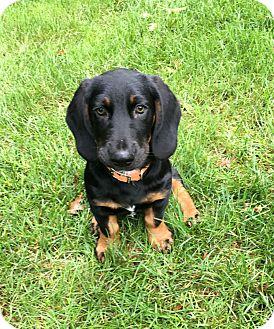 Dachshund/Basset Hound Mix Puppy for adoption in Columbus, Ohio - Ruffie