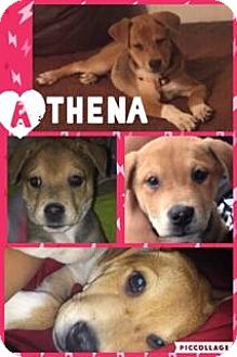 Husky/Labrador Retriever Mix Dog for adoption in Houston, Texas - Athena