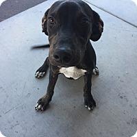 Adopt A Pet :: Ajax - Las Vegas, NV