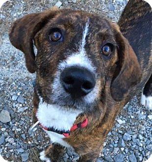 Plott Hound/Fox Terrier (Wirehaired) Mix Puppy for adoption in Chester Springs, Pennsylvania - Sanchez