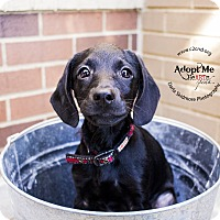 Adopt A Pet :: Kooky (Addams Family Litter) - Mooresville, NC