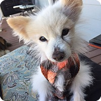 Pomeranian Mix Dog for adoption in Chattanooga, Tennessee - Tom the Pom