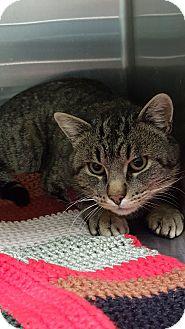 Domestic Shorthair Cat for adoption in Cody, Wyoming - Killian