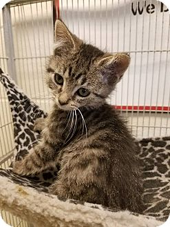 Domestic Shorthair Kitten for adoption in Windsor, Virginia - Castiel