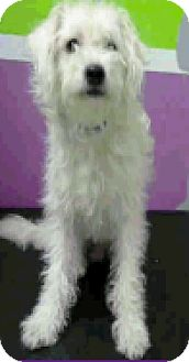 Poodle (Toy or Tea Cup)/Maltese Mix Dog for adoption in Fort Collins, Colorado - Charlie