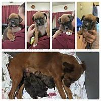 Adopt A Pet :: Puppies - Eight Weeks Jan 21 2017 - Hope, BC