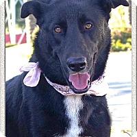 Adopt A Pet :: Tux mellow old soul - Redding, CA