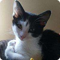 Adopt A Pet :: Cuddles - Kenosha, WI