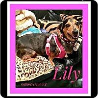 Adopt A Pet :: Lily - Milton, GA