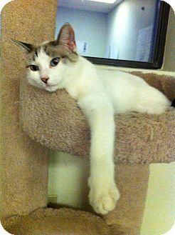 Domestic Shorthair Cat for adoption in Phoenix, Arizona - Sandy