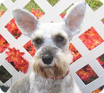 Schnauzer (Miniature) Dog for adoption in Kingwood, Texas - Missy
