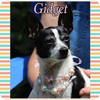 Rat Terrier Dog for adoption in Killian, Louisiana - Gidget
