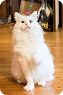 Domestic Longhair Cat for adoption in Chicago, Illinois - Hercules