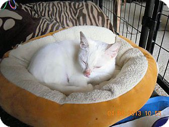 American Shorthair Cat for adoption in Olmsted Falls, Ohio - Zima