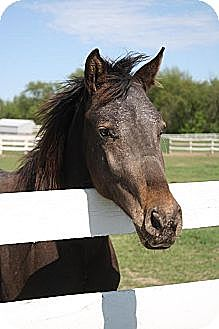 Quarterhorse/Appaloosa Mix for adoption in Woodstock, Illinois - Baby Ruth
