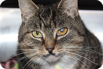 Domestic Shorthair Cat for adoption in Middletown, Connecticut - Gretchen