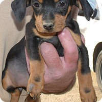 Adopt A Pet :: MACY - Corona, CA