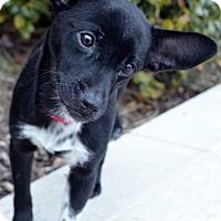 Adopt A Pet :: Brit-Adoption pending - Bridgeton, MO