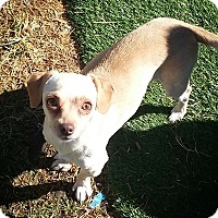 Adopt A Pet :: Twinkle - Henderson, NV