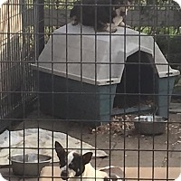 Adopt A Pet :: Pinky - Chihuahua Mix - Midlothian, VA