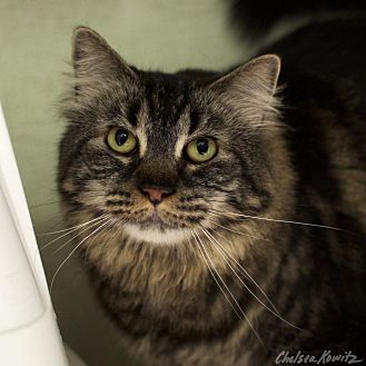 Maine Coon Cat for adoption in Los Angeles, California - Malory