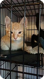 Domestic Shorthair Kitten for adoption in Hanna City, Illinois - Cheetoh- adoption pending
