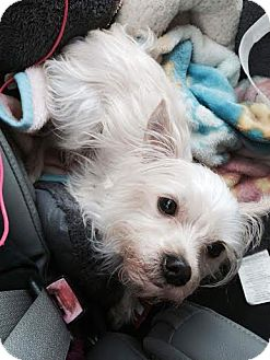 Westie, West Highland White Terrier/Terrier (Unknown Type, Small) Mix Dog for adoption in Chattanooga, Tennessee - Cody