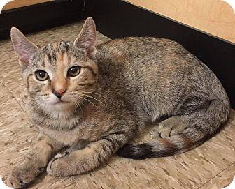 Domestic Shorthair Cat for adoption in Apex, North Carolina - Peach Puff