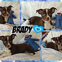 Adopt A Pet :: Brady - Washington, DC