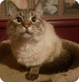 Ragdoll Cat for adoption in Ennis, Texas - Kingsley