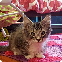 Domestic Mediumhair Kitten for adoption in Chesapeake, Virginia - Rocky Road