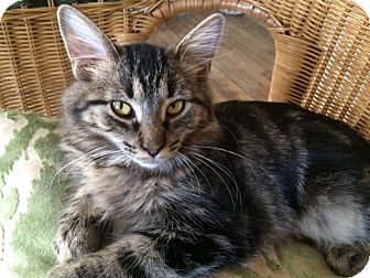 Maine Coon Kitten for adoption in Toledo, Ohio - Soledad
