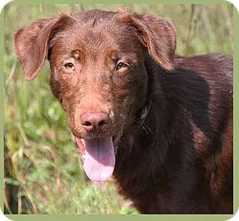 Labrador Retriever Mix Dog for adoption in South Bend, Indiana - Charlie