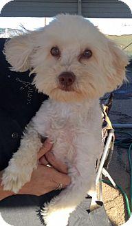Bichon Frise Dog for adoption in Rancho Cucamonga, California - Morrison