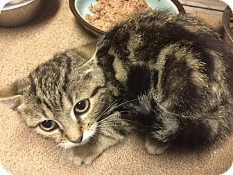 Domestic Shorthair Kitten for adoption in Forest Hills, New York - Doran
