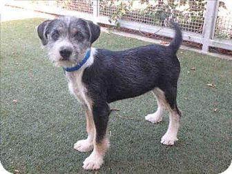 Terrier (Unknown Type, Small) Mix Puppy for adoption in Encino, California - Batman