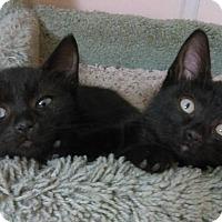Domestic Shorthair Kitten for adoption in Denver, Colorado - WANDA-WALLY-WALTER