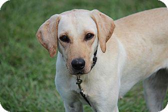 Labrador Retriever Dog for adoption in Jay, New York - Ember