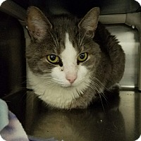 Domestic Shorthair Cat for adoption in Elyria, Ohio - Lady