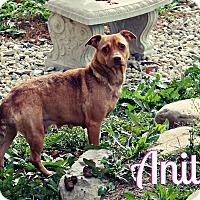 Miniature Pinscher/Dachshund Mix Dog for adoption in Marion, Indiana - ANITA