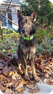 German Shepherd Dog Dog for adoption in Fennville, Michigan - Wolfie