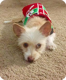 Yorkie, Yorkshire Terrier/Chihuahua Mix Dog for adoption in Spring, Texas - Chanel