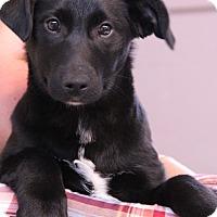 Adopt A Pet :: Harley - O Fallon, IL